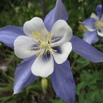Columbine-Flower-150x150